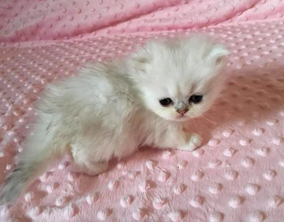 Purse Persians Teacup Kittens | | Cat Breeders